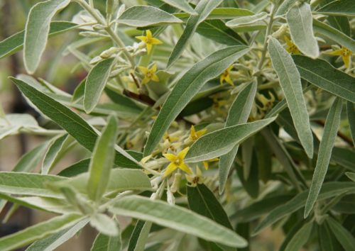 Russian Olive Flower