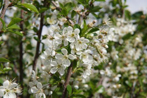 Carmine Jewel Cherry Flower Close Up