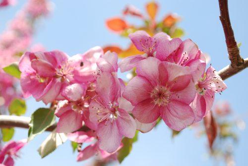 Selkirk Crabapple Flower Close Up