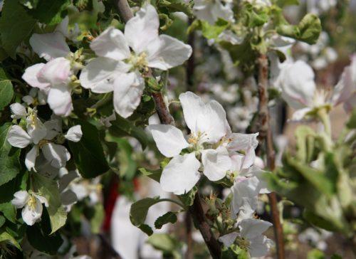 September Ruby Apple Flower Close Up