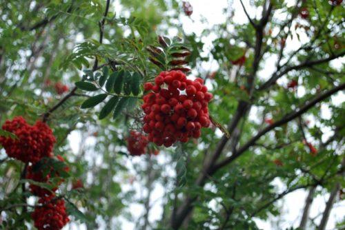 Showy Mountain Ash Fruit Close Up