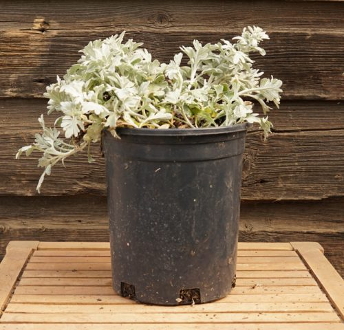 Silver Brocade Artemisia overview