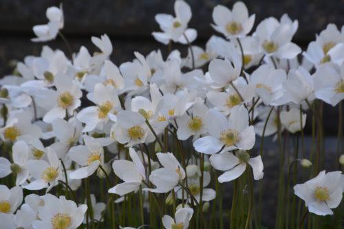 Snowdrop Anemone in Flower