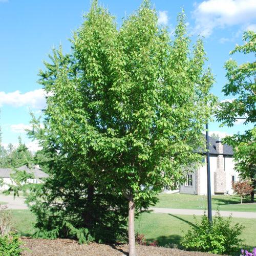 Starlite Crabapple Full Tree