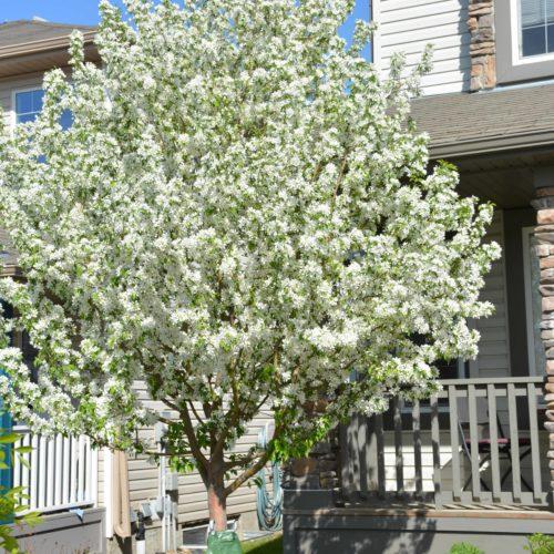Spring Snow Crabapple Tree in Flower