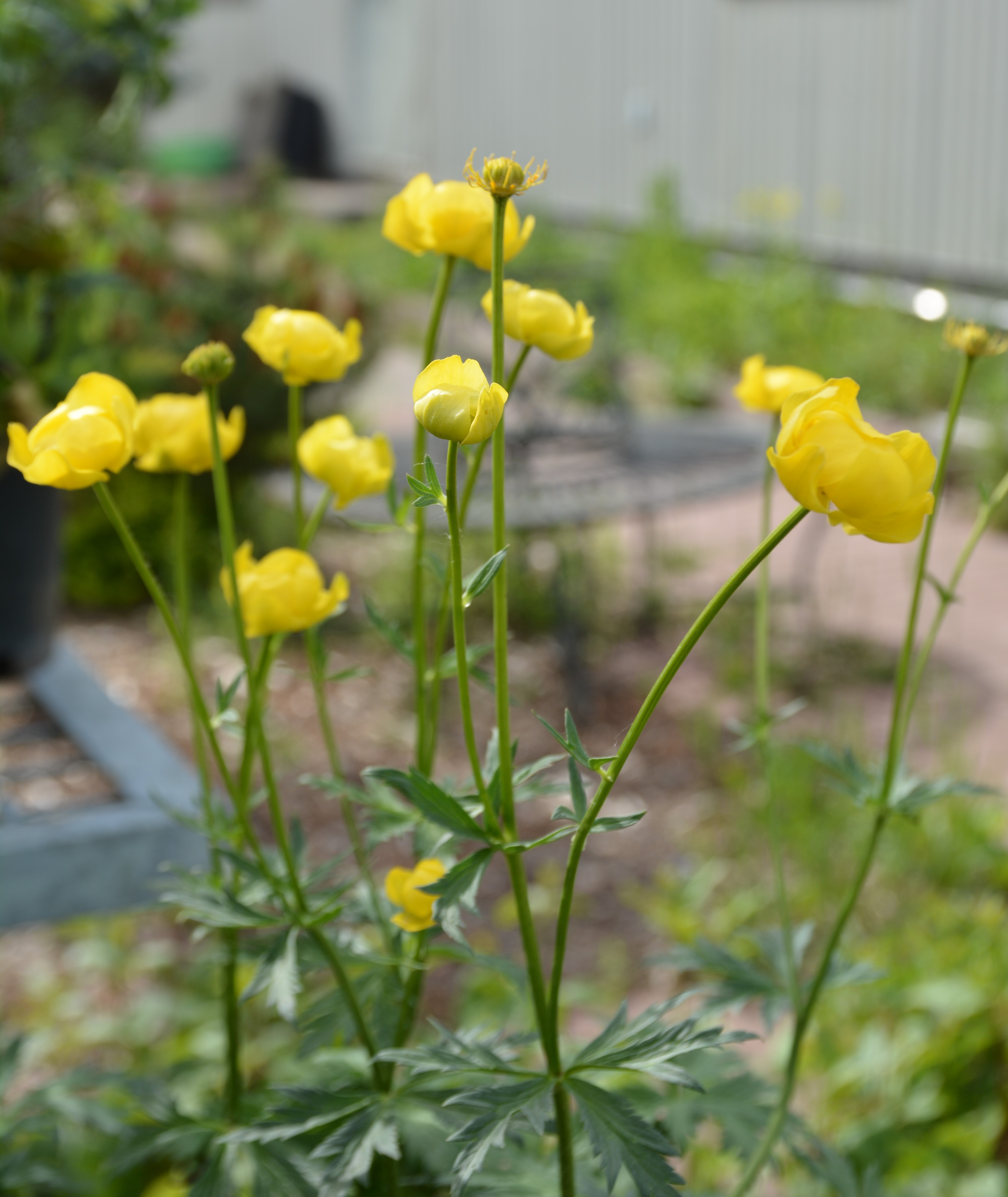Superbus Globeflower in Flower