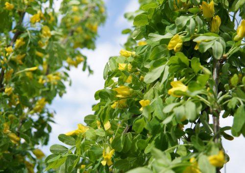 Sutherland Caragana bloom