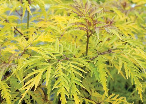 Sutherland Golden Elder Foliage Close Up