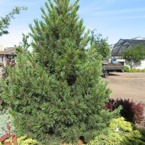 Swiss Stone Pine Full Tree