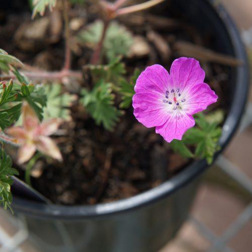Tiny Monster Geranium Flower Close Up