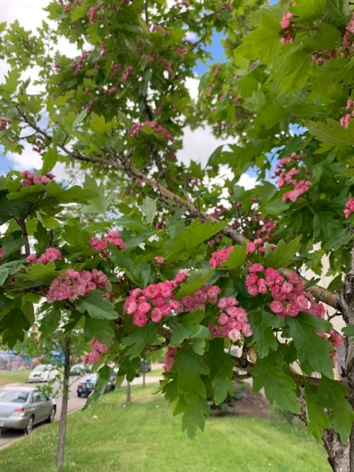 Toba Hawthorn Flower Cose Up