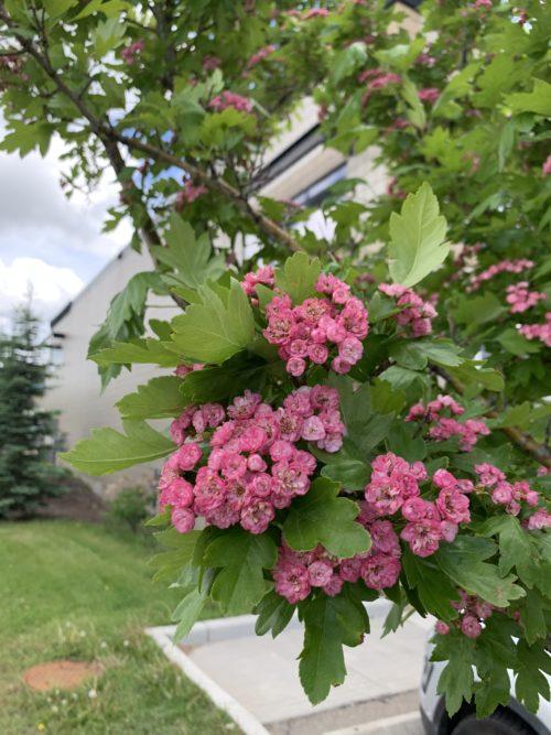 Toba Hawthorn Flower Close Up