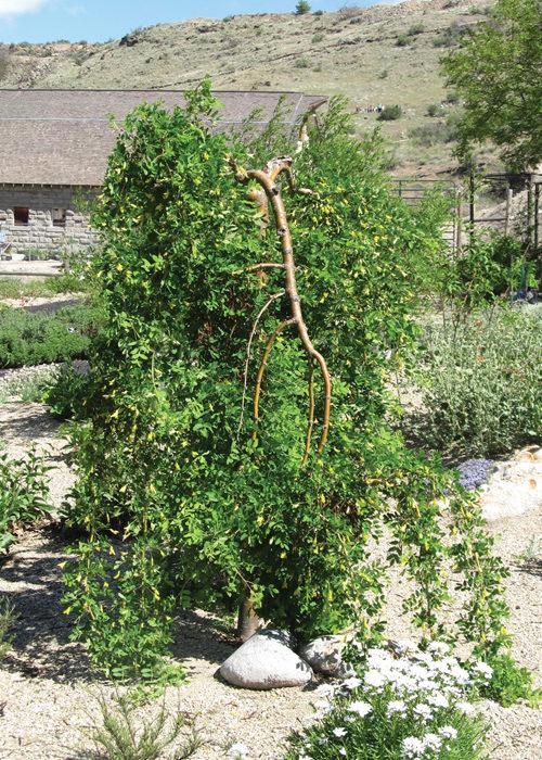 Weeping Caragana Full Tree/Shrub
