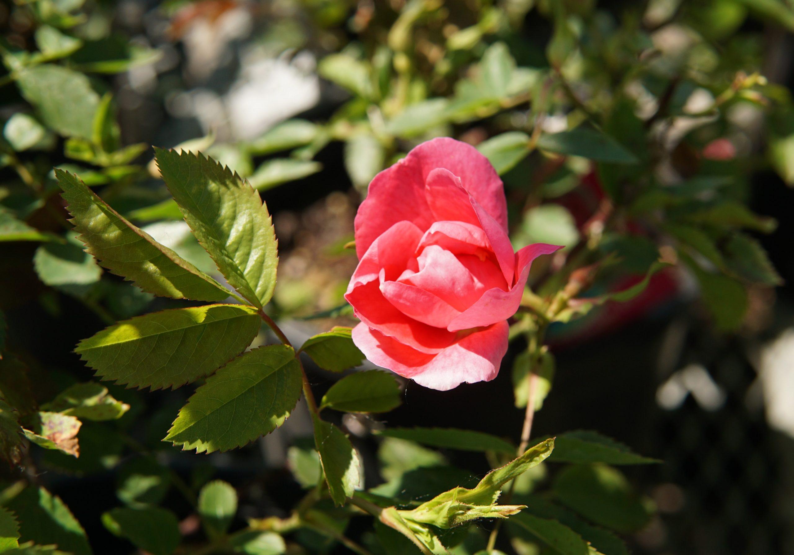 William Baffin Rose