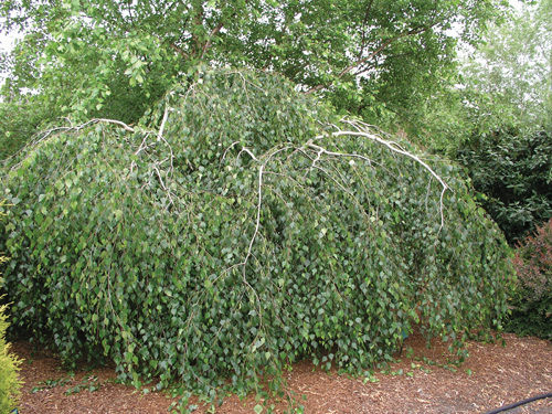 Youngs Weeping Birch Full Tree
