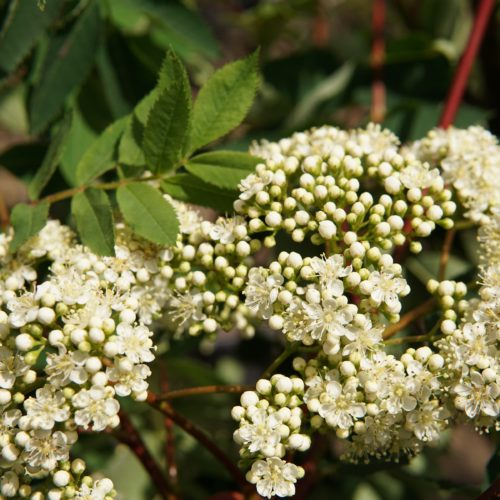 american mountain ash bloom buds