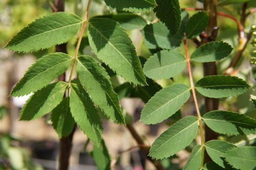 american mountain ash leaves