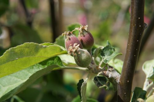 Battleford Apple young fruit