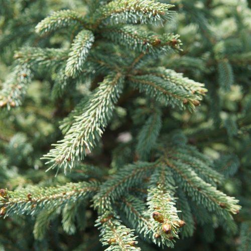 Black Hill Spruce close up