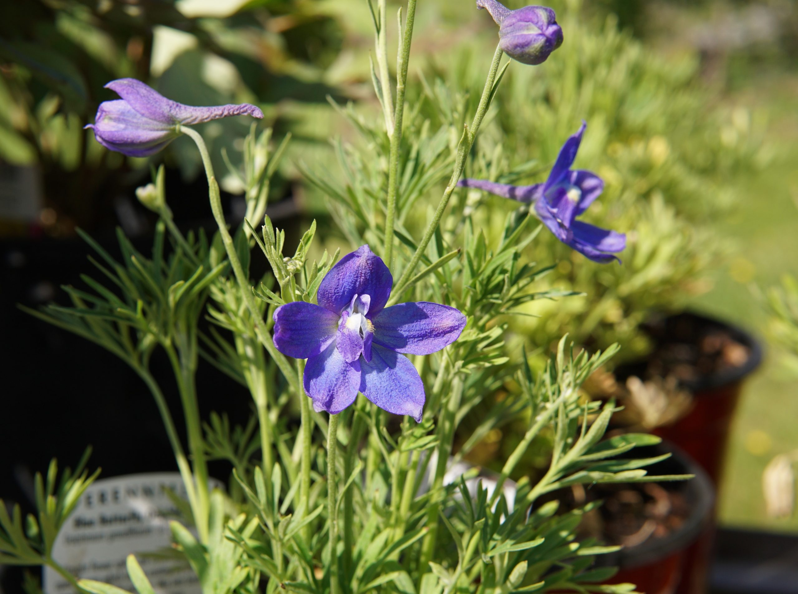 Blue Butterfly Delphinium