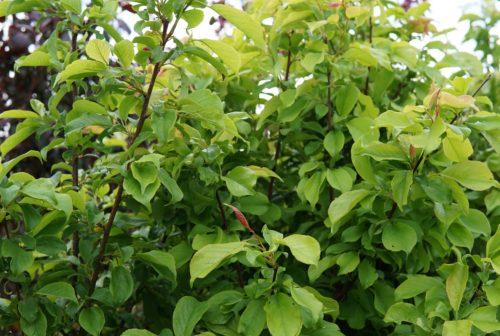 Brookred Plum leaves