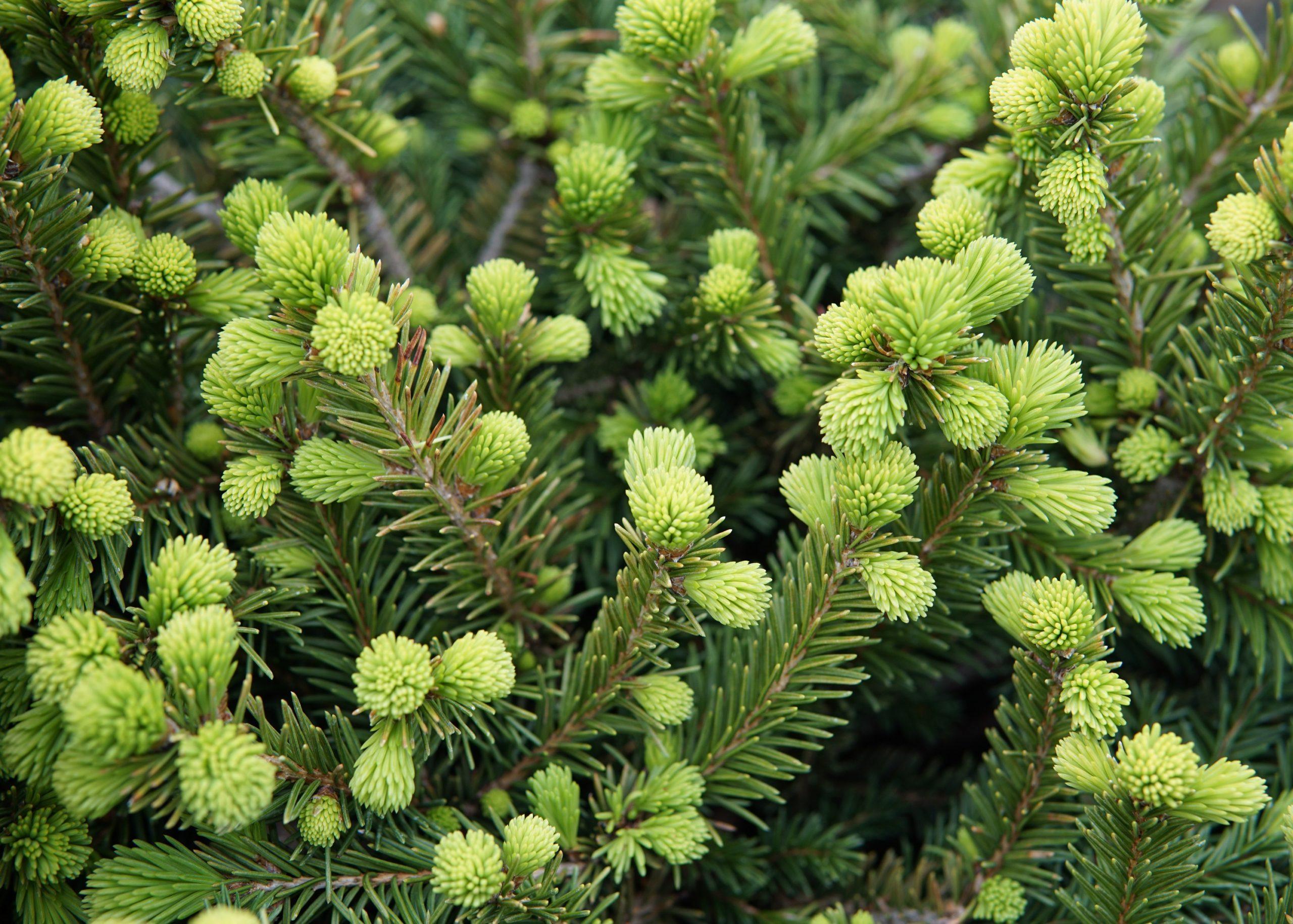 Dwarf Norway Spruce buds