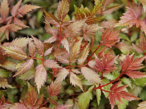 Fanal Astilbe leaves