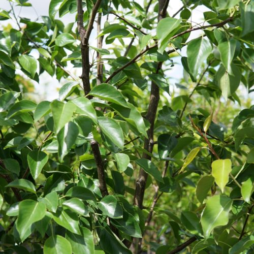 Golden Spice Pear leaves
