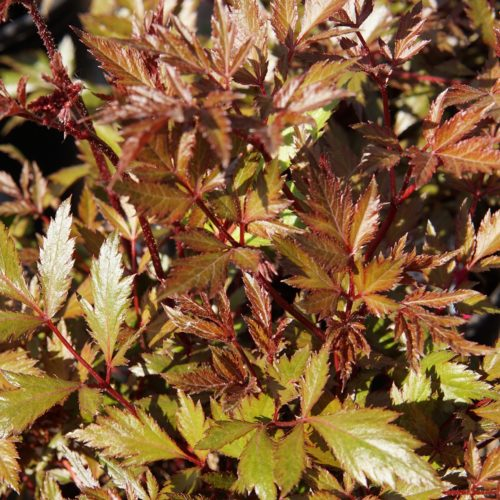 Lollipop Astilbe leaves