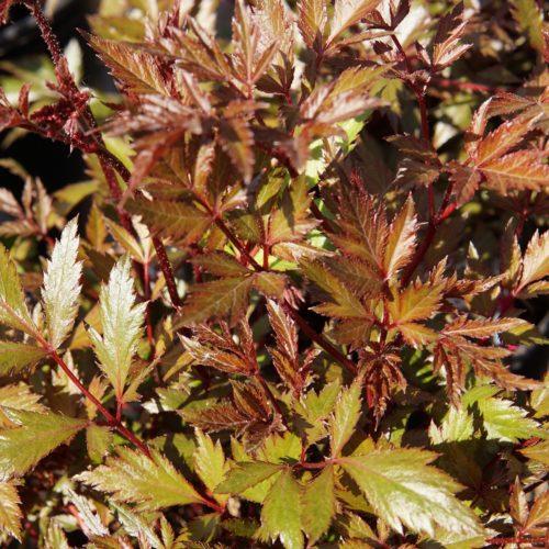 Lollipop Astilbe leaves