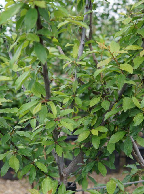 mount royal plum leaves