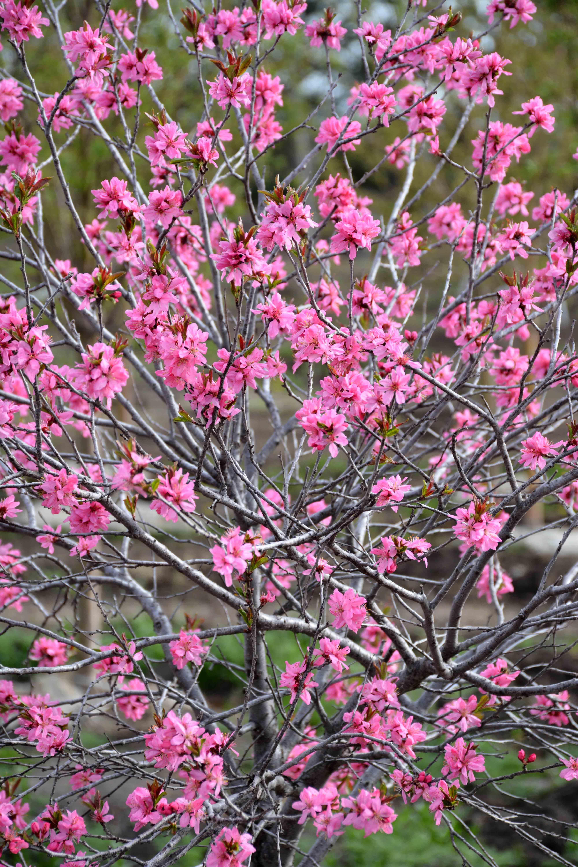 Muckle Plum Tree in Flower