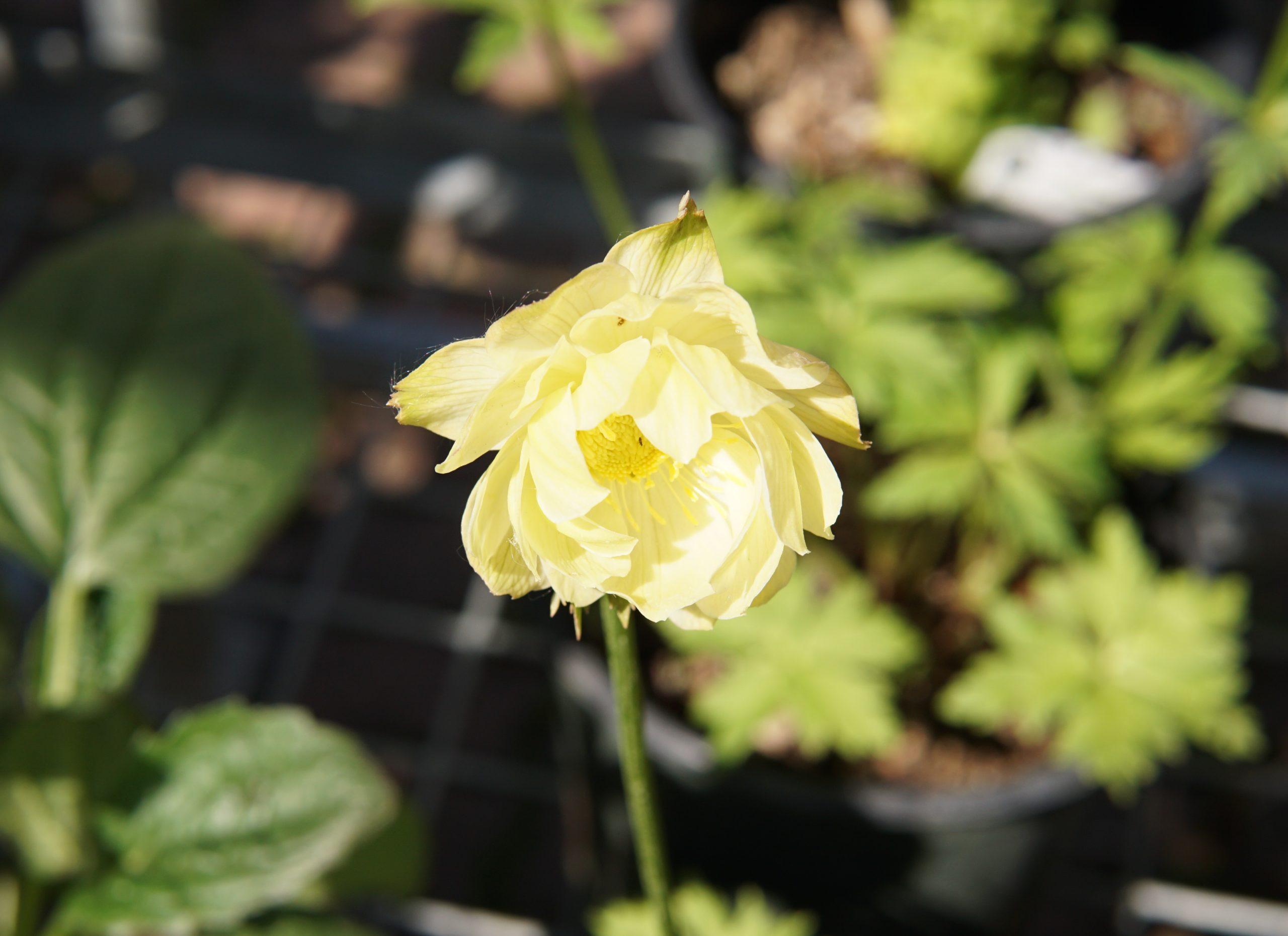 New Moon Globeflower
