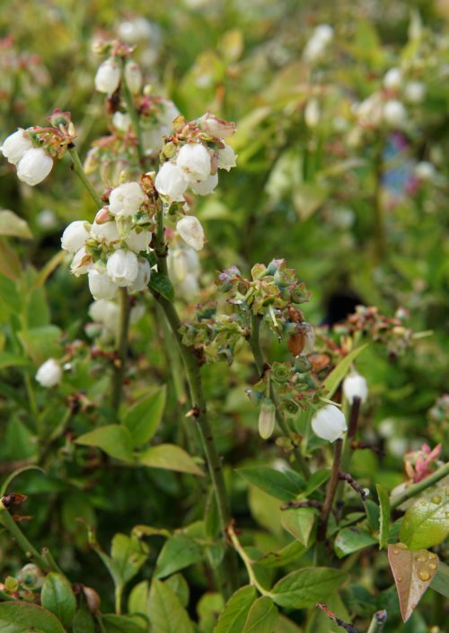 northblue blueberry bloom overview