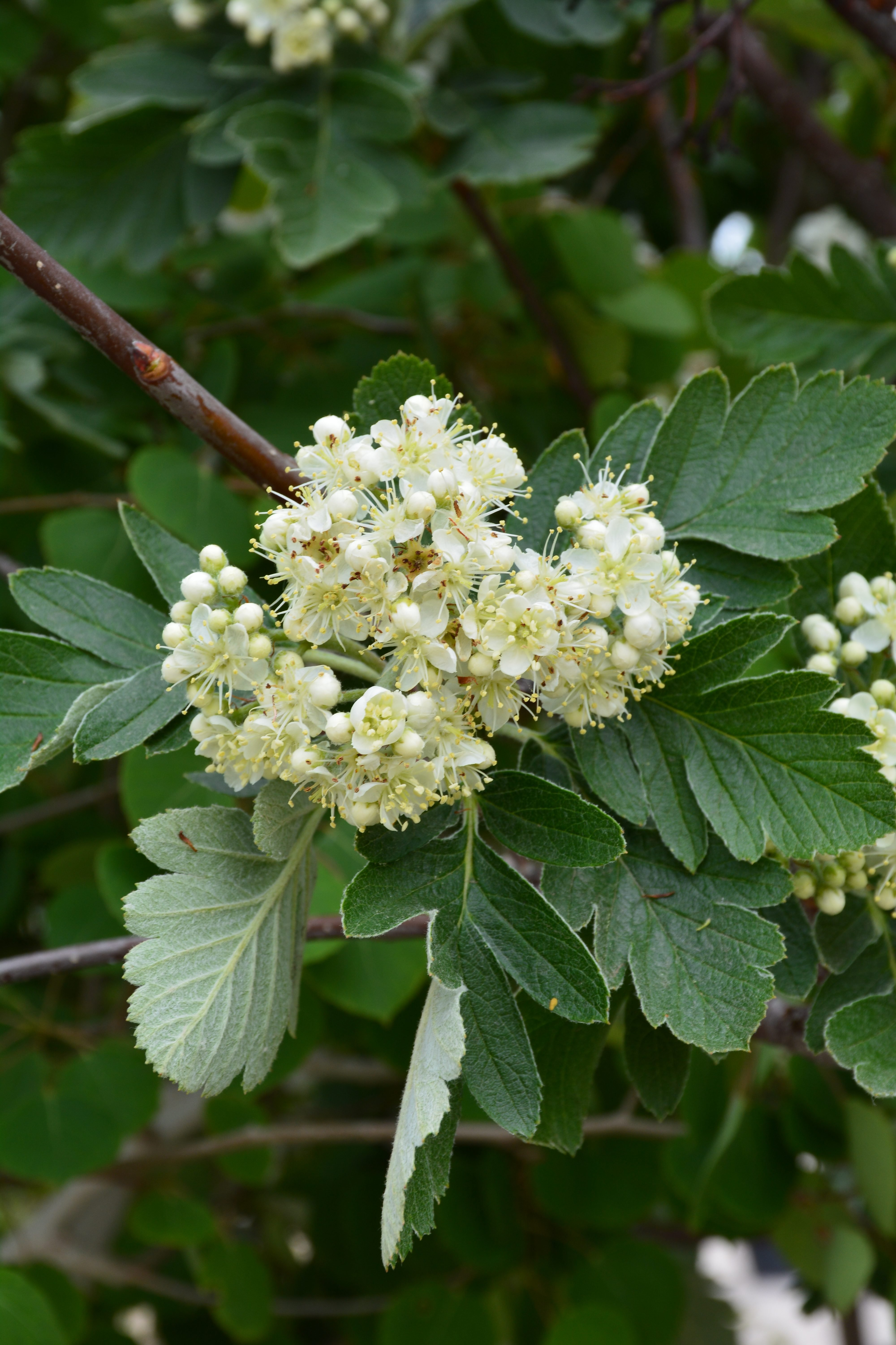 Oak Leaf Mountain Ash Flower Close Up