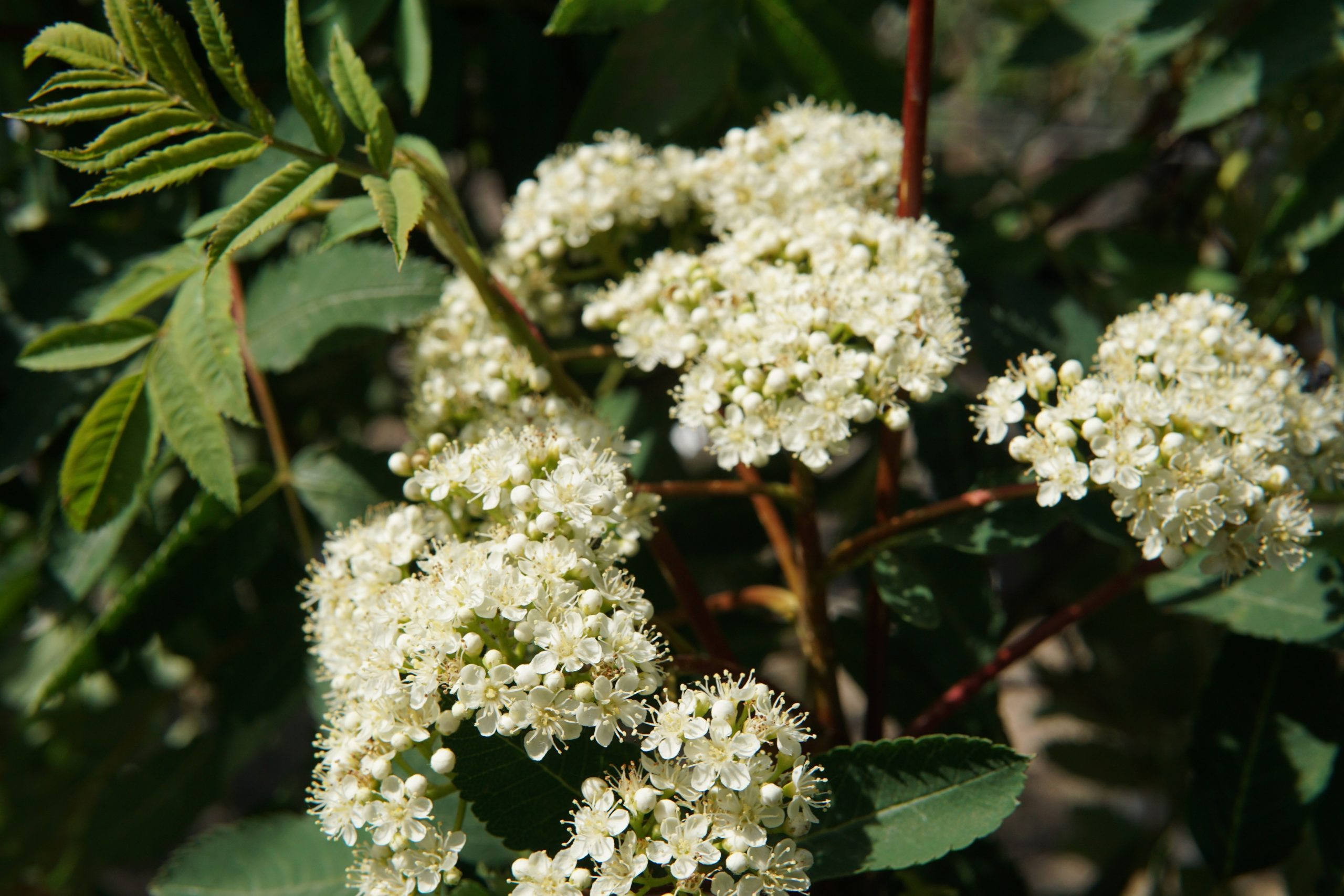 Showy Mountain Ash bloom