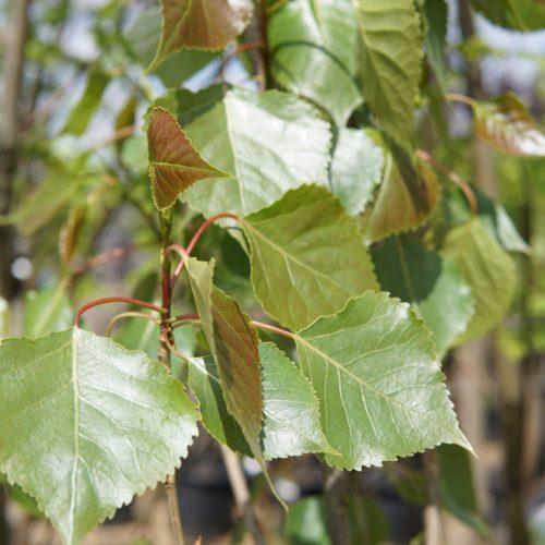 Sundancer Poplar Leaves