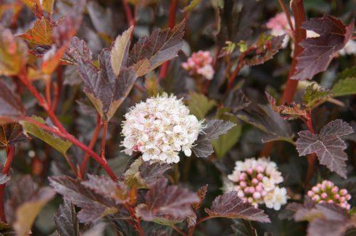 Tiny Wine Ninebark bloom