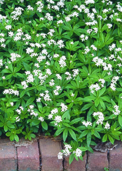 Sweet Woodruff in Flower