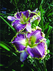 Bestseller Daylily Flower Close Up