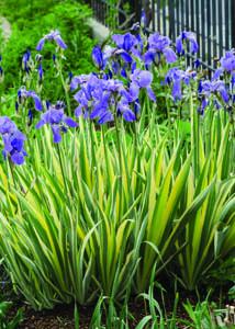 Gold Variegated Zebra Iris in Flower