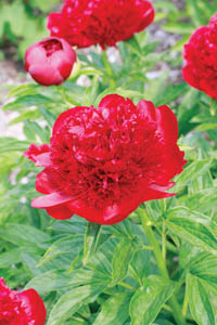 Red Charm Peony Flower Close Up