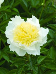 Primevere Peony Flower Close Up