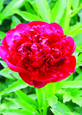 Red Sarah Bernhardt Peony Flower Close Up