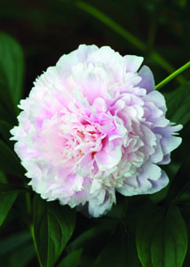 Sarah Bernhardt Peony Flower Close Up