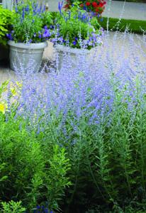 Russian Sage in Flower