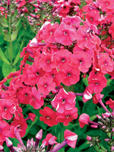 Red Riding Hood Phlox Flower Close Up