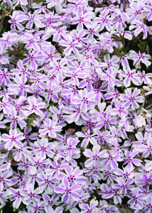 Candy Stripe Phlox in Flower