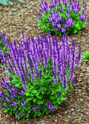 Sensation Deep Rose Salvia in Flower