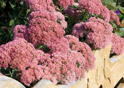 Autumn Joy Sedum in Flower
